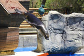 Sea lion jumping into water from height — Stock Photo