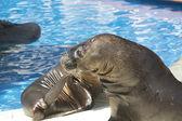 Sea lion scratching like a dog — Stock Photo
