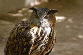 Nice large brown owl eyes — Stock Photo