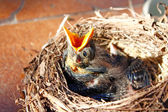 Small Blackbirds just leave the egg in the nest — Stock Photo