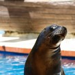 Close up of beautiful sea lion — Stock Photo #45317285