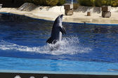 Dolphins swimming off the water by moving the tail — Foto de Stock