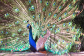 Peacock with colorful tail fanned — Stock Photo