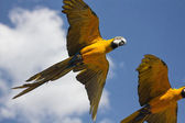 Blue parrots with yellow casing in flight — Stock Photo