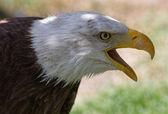 Bald Eagle or White Head (Haliaeetus leucocephalus) — Stock Photo