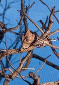 Camaleão entra os ramos de uma árvore — Fotografia Stock