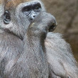 Gray back gorilla eating a branch — Stock Photo #51000985