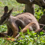 Bennett Wallaby (Macropus rufogriseus) — Stock Photo #51002137
