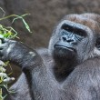 Gray back gorilla eating a branch — Stock Photo #51002209