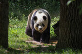 Panda bear in a forest — Stock Photo