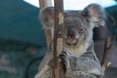 Koala relaxed in the branches of a tree — Stock Photo