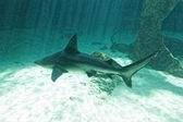 Dangerous bull shark jaw huge — Photo