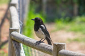 Magpie perched on a stick — Stock Photo