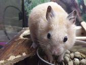 Cinnamon hamster smells nice meal with satisfaction — Stock Photo