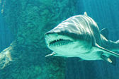 Dangerous bull shark jaw huge — Stock Photo