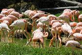 Band flamingos in the water — Foto de Stock