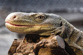 Oversized lizard resting on a branch — Stock Photo