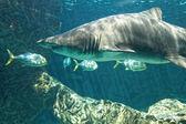 Dangerous bull shark jaw huge — Stockfoto