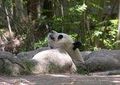 Panda bear in a forest — Stok fotoğraf