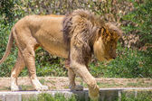 Large mane Lion, wander in search of a dam — Stock Photo