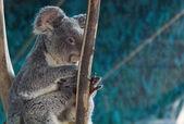 Koala avslappnad i grenarna på ett träd — Stockfoto