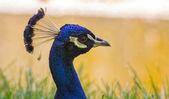 Tête de paon bleu — Photo