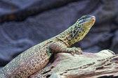 Nice lizard jungle areas with green tones — Stock Photo