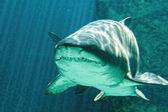 Dangerous bull shark jaw huge — Stock fotografie
