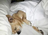 Happy chihuahua sleeping on a bed — Stock Photo