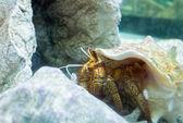 Colorful sea hermit — Stock Photo