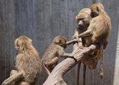 Famiglia di babbuini jueganen un albero — Foto Stock