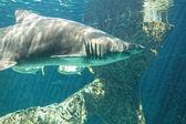 опасный бык акулы челюсти огромный — Стоковое фото