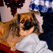 Pekinese dog. — Stock Photo #36724577