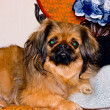 Pekinese dog. — Stock Photo #36724701