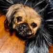 Pekinese dog. — Stock Photo #38760985