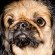 Pekinese dog. — Stock Photo #38761127