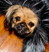 Pekinese dog. — Stock Photo