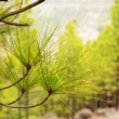 Carary pine leaves needles in gran Canaria — Stock Photo #12644922