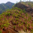 Gran Canaria Canary pine mountains — Stock Photo