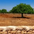 Agriculture in Mediterranean of fig tree in red soil island of Formentera — Stock Video