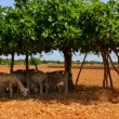 Agriculture in Mediterranean of fig tree in red soil island of Formentera - 