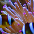 Clown anemonefish also clownfish swimming on anemone - 图库照片