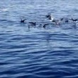 Combined seagulls attack to a fish school while big predator fishes - Foto Stock