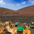Camel in Lanzarote in timanfaya fire mountains — Stock Photo #12752707