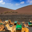 Camel in Lanzarote in timanfaya fire mountains — Stock Photo