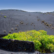 Lanzarote La Geria vineyard on black volcanic soil — Stock Photo