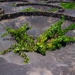 Stock Photo: Lanzarote La Geria vineyard on black volcanic soil