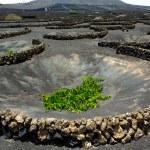 Lanzarote La Geria vineyard on black volcanic soil — Stock Photo #12754999