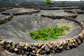 Lanzarote La Geria vineyard on black volcanic soil — Stock Photo