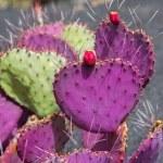 Lanzarote Guatiza cactus garden Opuntia Macrocentra — Stock Photo #12760717